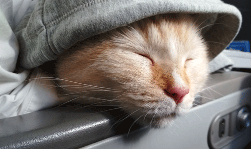 How-to-Travel-with-a-Cat-on-a-Plane