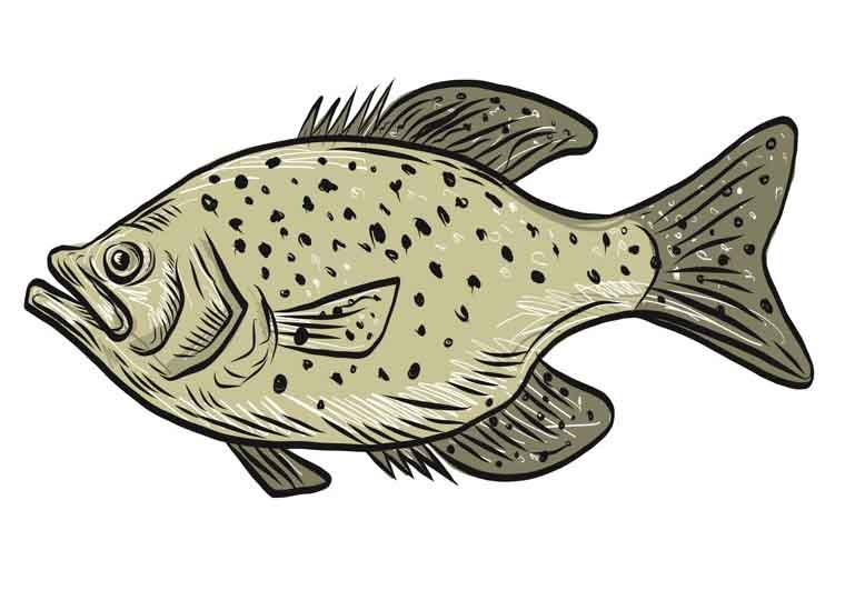 Crappie Fish Side Drawing